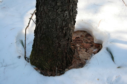 Snow melt around tree base