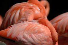 Kubaflamingos im Zoo de La Palmyre