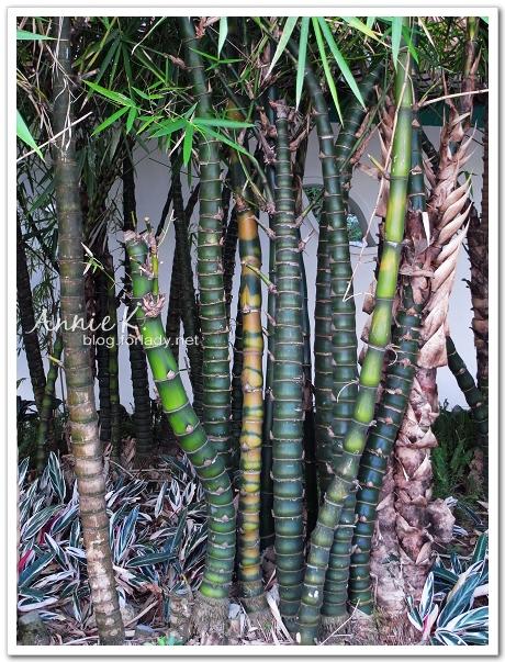 九龍公園竹
