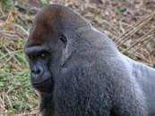 Adult Silverback gorilla profile