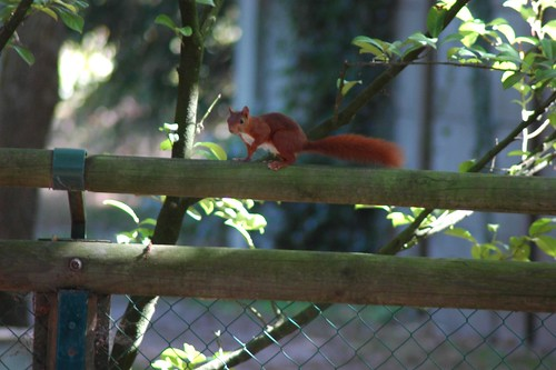 Eichhörnchen im Zoo de La Flèche