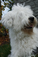 Einstein - Old English Sheepdog