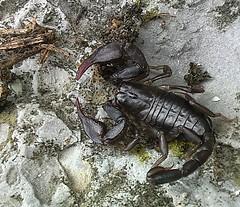 lo scorpione