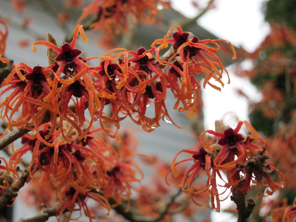 Witch hazel 'Jelena' flowers