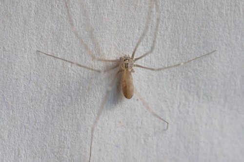 Long-bodied Cellar Spider (Pholcus phalangioides)