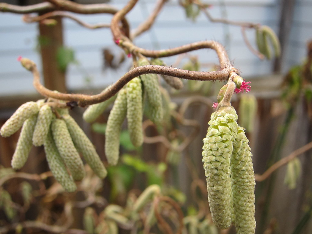 Many catkins, tiny flowers