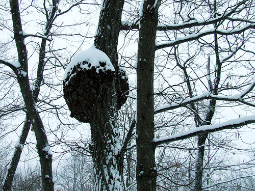 burl in a snowstorm