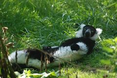Schwarzweißer Vari im Zoo de Doué-la-Fontaine