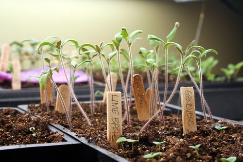 Tomato Seedlings March 28 2010