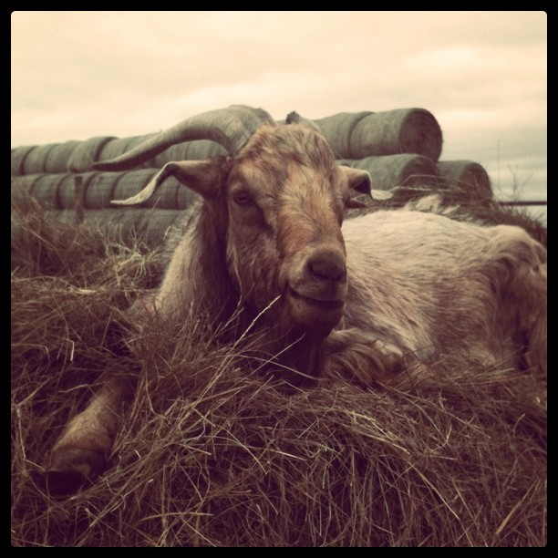 Goatie Goat kickin' it from the top of a round bale!