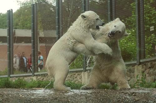 Eisbären Siku und Sesi im Ouwehands Dierenpark in Rhenen