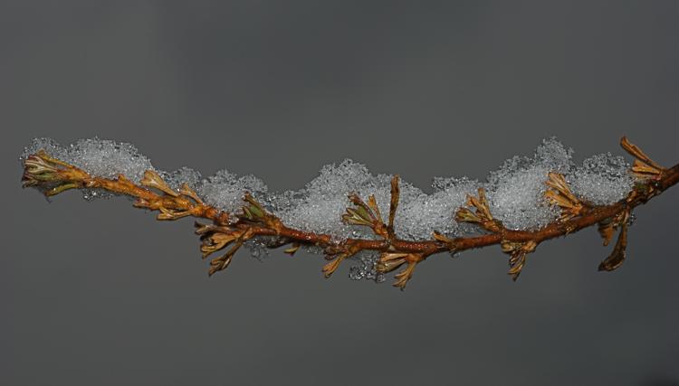 Snow on antelope bush