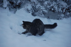 Percy Playing in the Snow