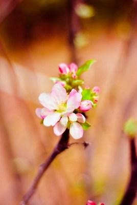 Cherry Blosom (by RayPG 2.0)