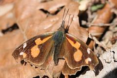氷取沢市民の森のテングチョウ(Nettle-tree Butterfly at Hitorizawa civic forest, Japan)