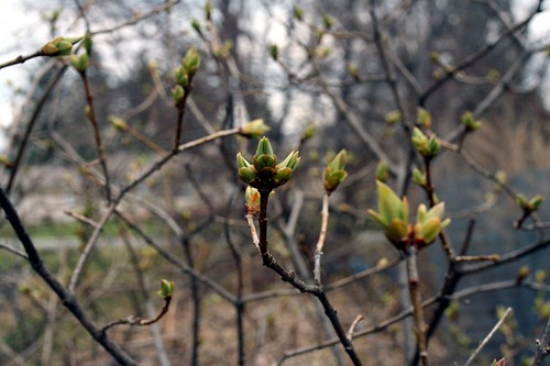Lilac Buds March 28 2010 3