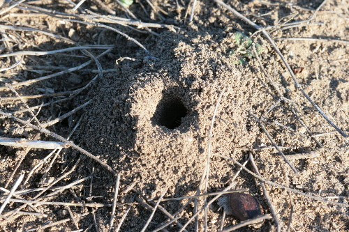 Mining bee burrow