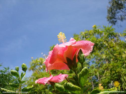 Hibiscus flower gazing the sky