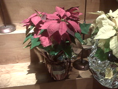 Supermarket poinsettia