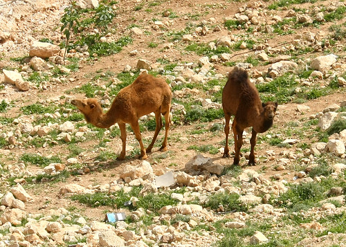 Camels behind my house