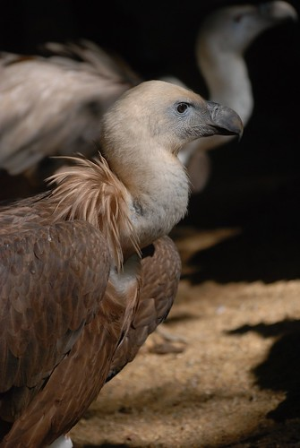 Gänsegeier im Zoo de Doué-la-Fontaine