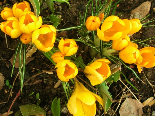 Yellow Crocus back yard