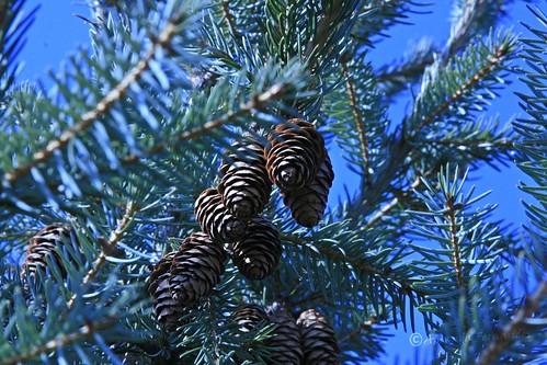365-23 Pinecones