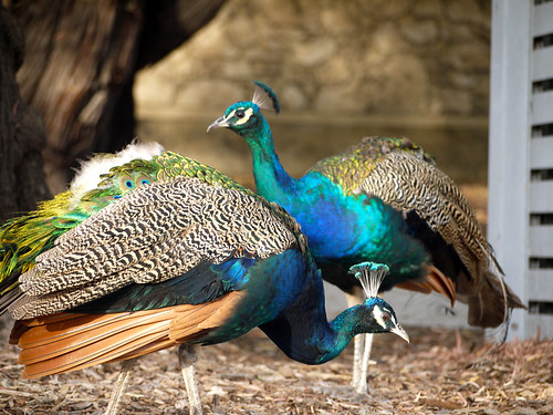 Peacock Buddies