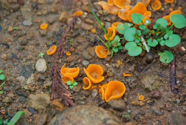 Orange Shrooms