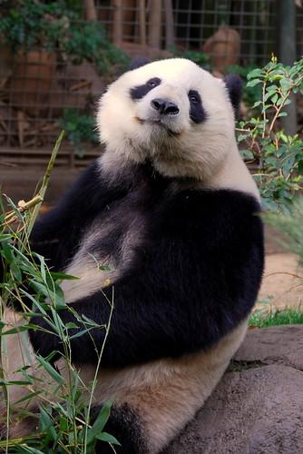 panda posing