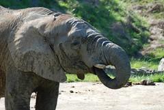 Afrikanischer Elefant im Zoo Parc de Beauval