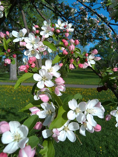 Cherry (or apple?) tree blossoms
