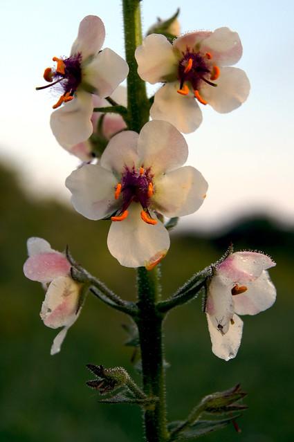 Meadow Flower 5