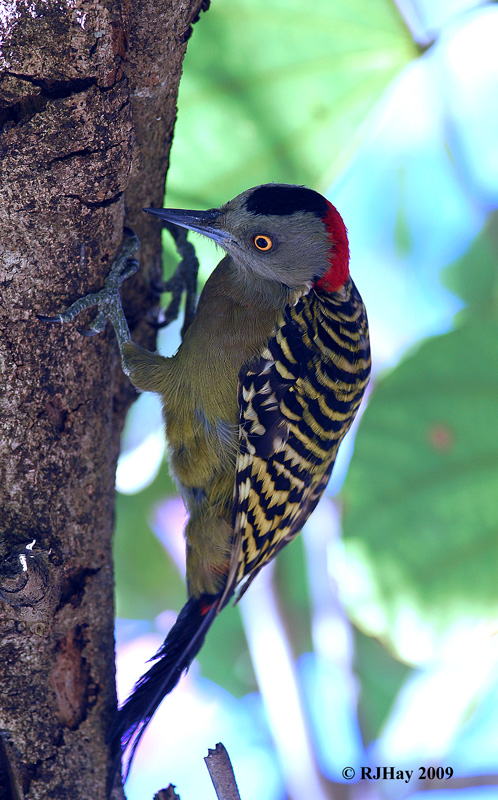 A female Hispaniolan Woodpecker