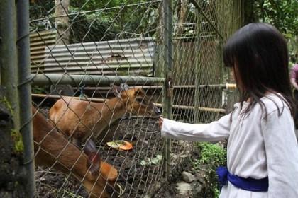 feeding the kijang (small local deer)