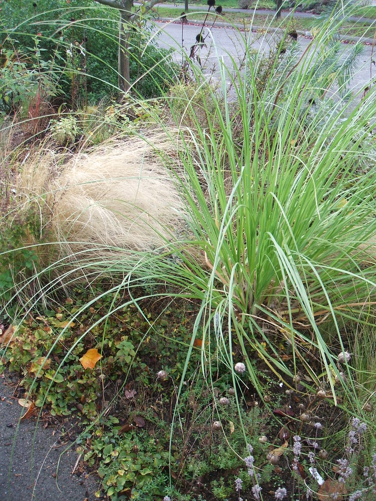 Volunteer grasses