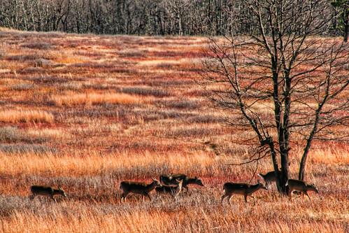 Herd of the Meadows