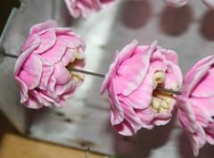 Pink Peony Flowers - Raw