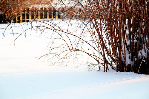 bush-in-snow