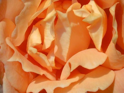 DSCN6671-rose
