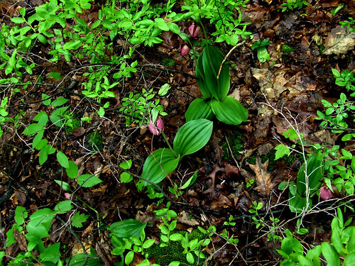 ladyslipper patch