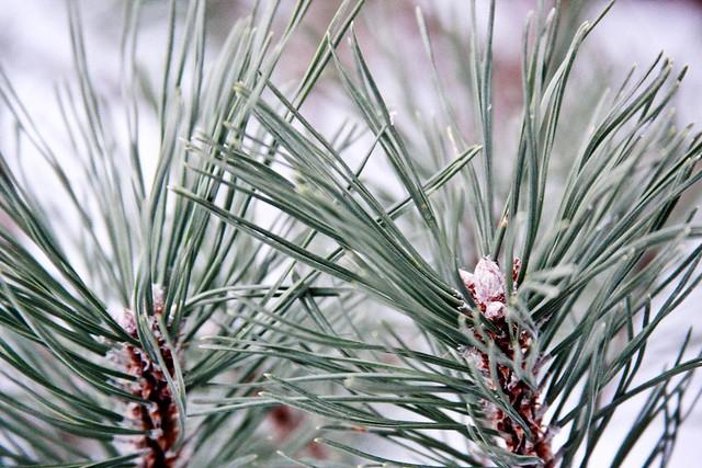 {6/365} pine shrub