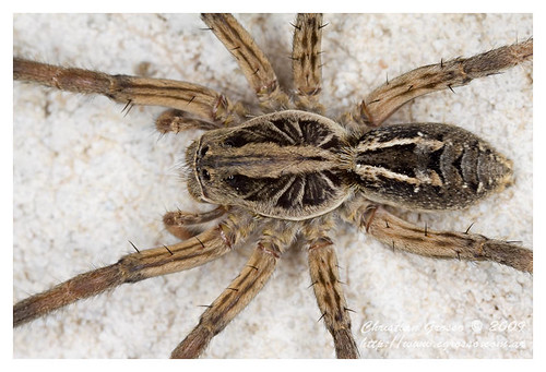 """Araña • <a style=""""font-size:0.8em;"""" href=""""http://www.flickr.com/photos/20681585@N05/4349828895/"""" target=""""_blank"""">View on Flickr</a>"""
