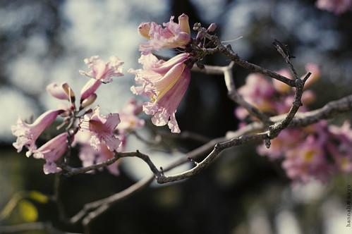 pink trumpet tree no.2