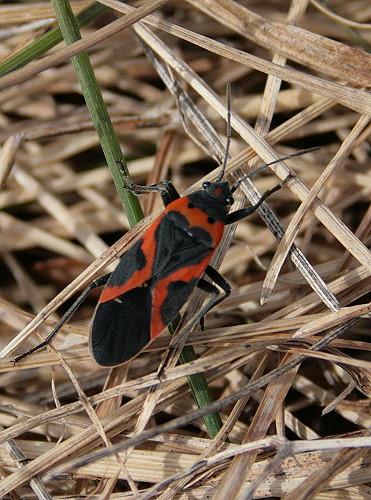 Small Milkweed Bug (Lygaeus kalmii)