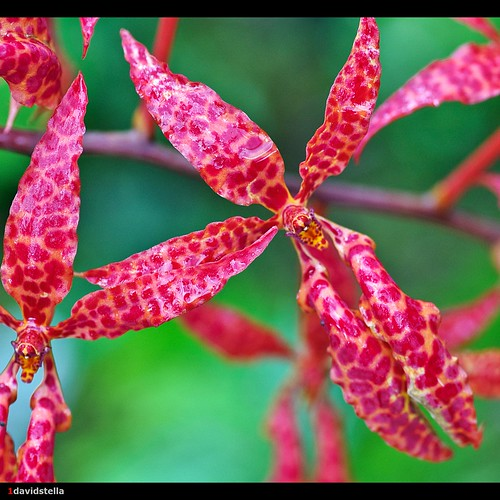 The Beautiful Renanthera {renanthera bella}