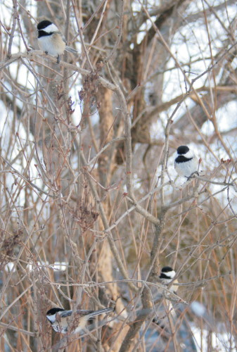 Black-capped Chickadees