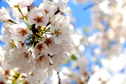 CherryBlossom004
