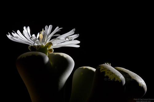 Lithops Succulent Shining Bright... Under Elinchrom Strobes... by Captain Suresh