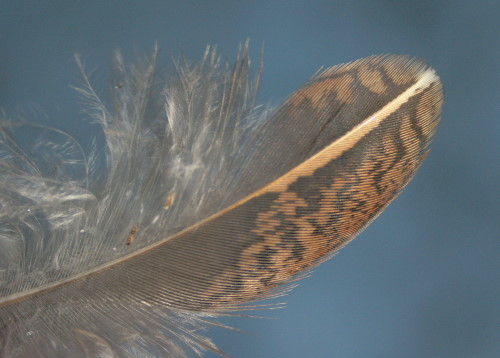 Ruffed Grouse feather